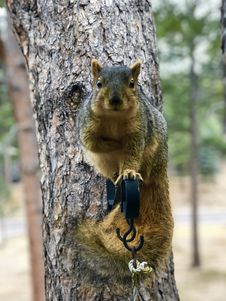 Free Squirrel, Mammal, Fauna, Fox Squirrel Stock Photography - 119412142