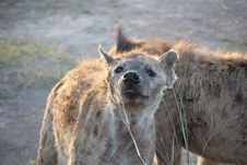 Free Hyena, Wildlife, Mammal, Fauna Stock Image - 119412171