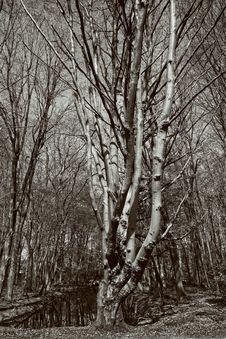Free Tree, Woodland, Black And White, Woody Plant Stock Image - 119412771