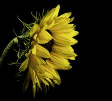 Free Close Photo Of Yellow Sunflower On Black Background Royalty Free Stock Photography - 119467437