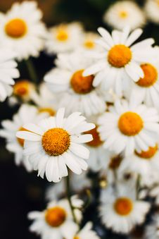 Free Closeup Photo Of White Daisy Flowers Royalty Free Stock Photography - 119467527