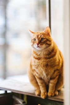 Free Selective Focus Photography Of Orange Tabby Cat Royalty Free Stock Photo - 119467575