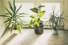 Free Three Green Potted Plants Royalty Free Stock Image - 119467656