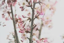 Free Close-Up Photography Of Cherry Blossom Royalty Free Stock Images - 119554029