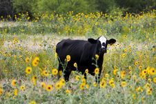 Free Black Cattle On Bed Of Yellow Petaled Flowers Stock Images - 119554134