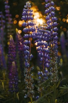 Free Depth Of Field Photography Of Grape Hyacinth Stock Photography - 119554172