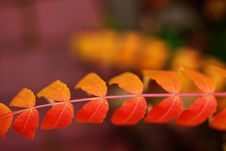 Free Depth Of Field Photography Of Orange Double Compound Leaf Royalty Free Stock Photography - 119554357