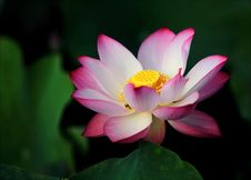 Free Focus Photo Pink And White Lotus Flower Stock Photo - 119611300