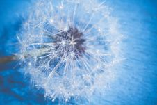 White Dandelion With Water Drops Retro Stock Photos