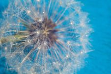 Free White Dandelion With Water Drops Stock Photo - 119618650