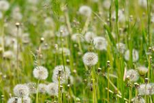 White Dandelions In The Grass Royalty Free Stock Photography