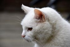 Free Cat, White, Whiskers, Small To Medium Sized Cats Stock Photography - 119765972