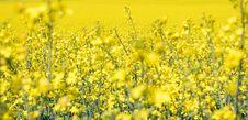 Free Rapeseed, Canola, Yellow, Mustard Plant Stock Image - 119766071