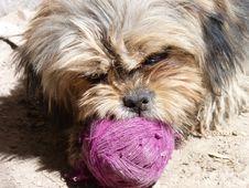 Free Dog, Dog Breed, Dog Like Mammal, Lhasa Apso Royalty Free Stock Images - 119766129