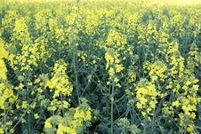Free Rapeseed, Canola, Mustard Plant, Yellow Royalty Free Stock Photography - 119766197