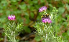 Free Silybum, Thistle, Noxious Weed, Plant Royalty Free Stock Photos - 119766218