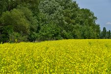 Free Field, Rapeseed, Yellow, Mustard Plant Royalty Free Stock Image - 119766256