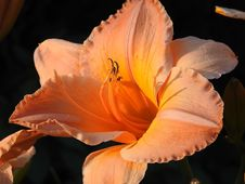 Free Flower, Orange, Daylily, Close Up Royalty Free Stock Photography - 119766357