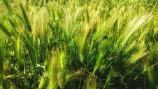 Free Food Grain, Barley, Triticale, Grass Family Stock Photo - 119766360