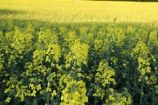 Free Rapeseed, Canola, Yellow, Mustard Plant Stock Photography - 119766402
