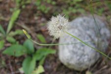Free Flora, Plant, Flower, Dandelion Stock Image - 119766711