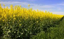 Free Rapeseed, Canola, Mustard Plant, Yellow Royalty Free Stock Image - 119766726