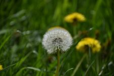 Free Flower, Dandelion, Flora, Grass Royalty Free Stock Photography - 119766767