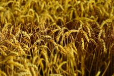 Free Wheat, Food Grain, Grain, Crop Stock Images - 119767184