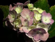 Free Flower, Plant, Flowering Plant, Hydrangea Stock Photos - 119767513