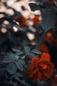 Free Photo Of Red Rose Royalty Free Stock Photo - 119844845