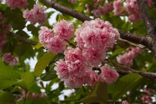 Free Blossom, Pink, Flower, Cherry Blossom Royalty Free Stock Photo - 119865955