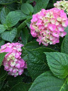 Free Flower, Plant, Flowering Plant, Hydrangea Stock Photo - 119866480