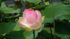 Free Flower, Plant, Lotus, Sacred Lotus Royalty Free Stock Photo - 119866555