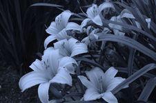 Free Flower, White, Plant, Black And White Stock Image - 119866701
