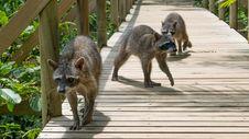 Free Mammal, Fauna, Wildlife, Procyonidae Stock Photo - 119866760