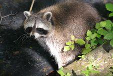 Free Raccoon, Procyonidae, Mammal, Fauna Royalty Free Stock Images - 119866949