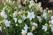 Free Plant, Flower, Flora, Bellflower Family Royalty Free Stock Photos - 119867088