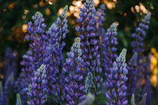 Free Hyacinth Buds Stock Image - 119926291
