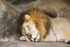 Free Lion Sleeping Beside Rock Royalty Free Stock Photos - 119926298