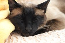 Free Cat, Whiskers, Small To Medium Sized Cats, Siamese Royalty Free Stock Photo - 119960505