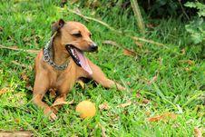 Free Dog Breed, Dog, Grass, Dog Like Mammal Royalty Free Stock Images - 119960579