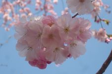 Free Blossom, Pink, Flower, Cherry Blossom Royalty Free Stock Photo - 119960755
