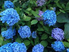 Free Plant, Flower, Flowering Plant, Hydrangea Stock Photography - 119961032
