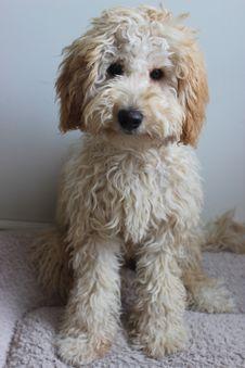 Free Dog Like Mammal, Dog, Dog Breed, Miniature Poodle Stock Photo - 119961070