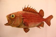 Free Fish, Fauna, Organism, Red Snapper Royalty Free Stock Photos - 119961148