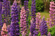 Free Plant, Flower, Flowering Plant, Lupin Royalty Free Stock Images - 119961189