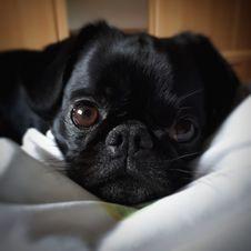 Free Pug, Dog, Dog Like Mammal, Black Royalty Free Stock Image - 119961356