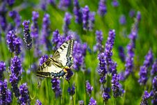 Free Close-Up Photography Of Butterfly Perched On Lavender Flower Stock Images - 119999804