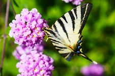 Free Closeup Photography Of Tiger Swallowtail Butterfly Perched On Purple Cluster Petaled Flowers Royalty Free Stock Photo - 119999815