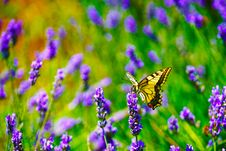 Free Selective Focus Photography Of Tiger Swallowtail Butterfly Perched On Lavender Flower Stock Photos - 119999833